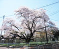 駐在前 大桜