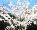 桜満開 下堰堤